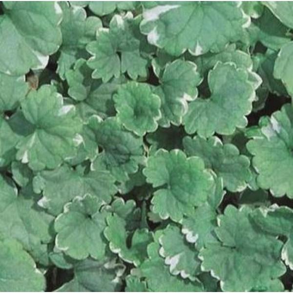 Plug plants - Nepeta Trailing Variegated x 6