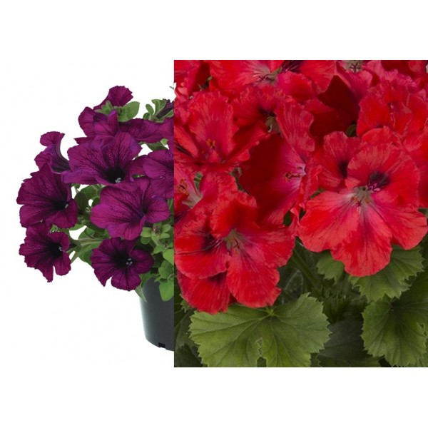 Plug plants - Pelargonium - Regal Mixed -  x6