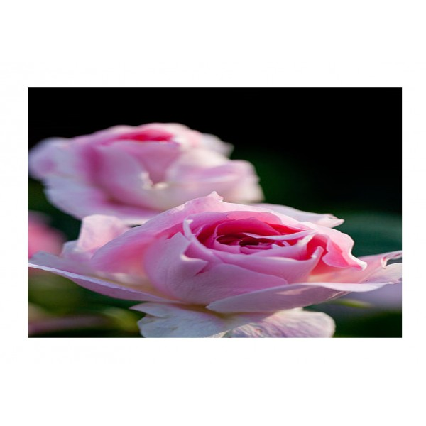 Patio Rose - Carefree Days (light pink)