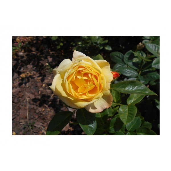 Rose - Bush - Chinatown (Deep Yellow)