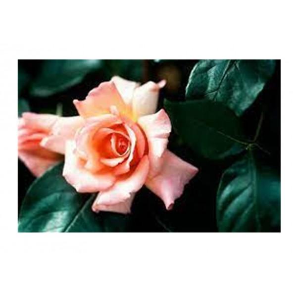 Rose - Climber - Compassion (orange/salmon)