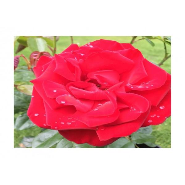 Rose Climber - Dublin Bay (crimson)