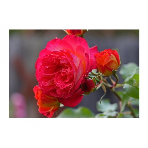 Patio Rose - Dwarf Fairy (Rich red)