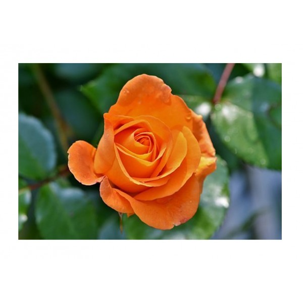 Rose - Royalty Bush - For you with Love (Orange)