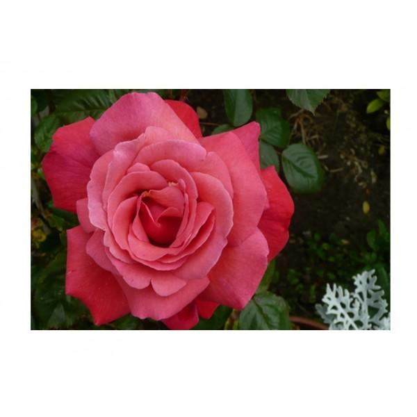 Rose -Climber - Galaway Bay (rich pink)