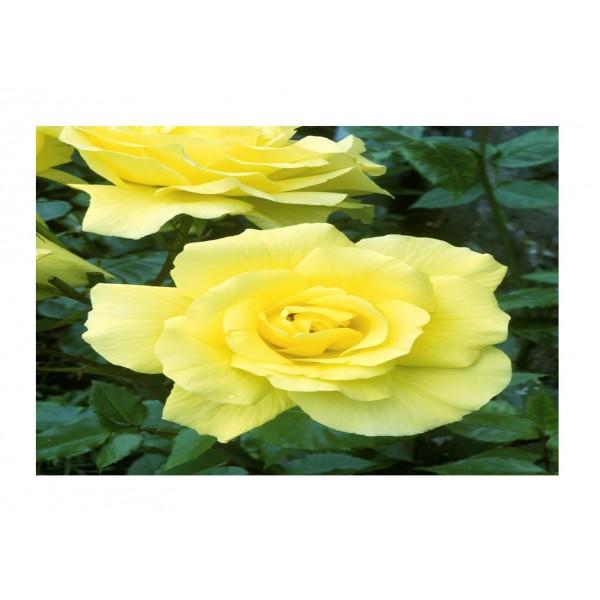 Climber Rose - Golden showers (yellow)