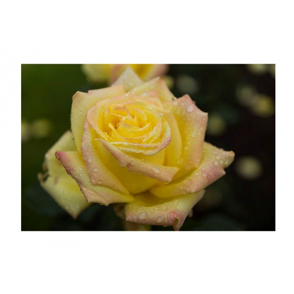 Rose - Bush - Grandpa Dickinson (Lemon Yellow)