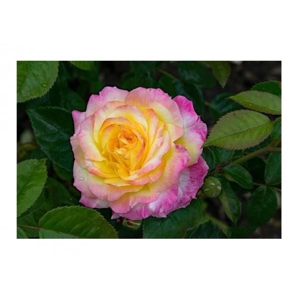Patio Rose - Little Sunset (yellow/orange)