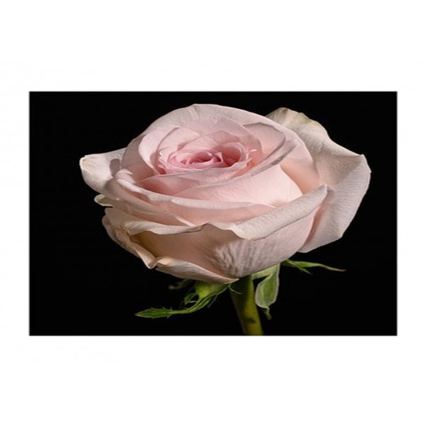Patio Rose - Lovely Bride (neyron pink)