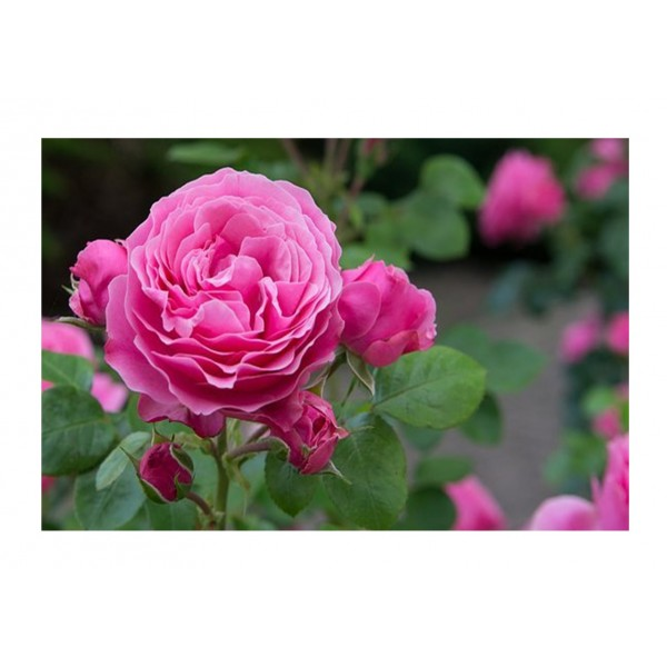 Rose - Premium Bush Mum in A Million (Pink)