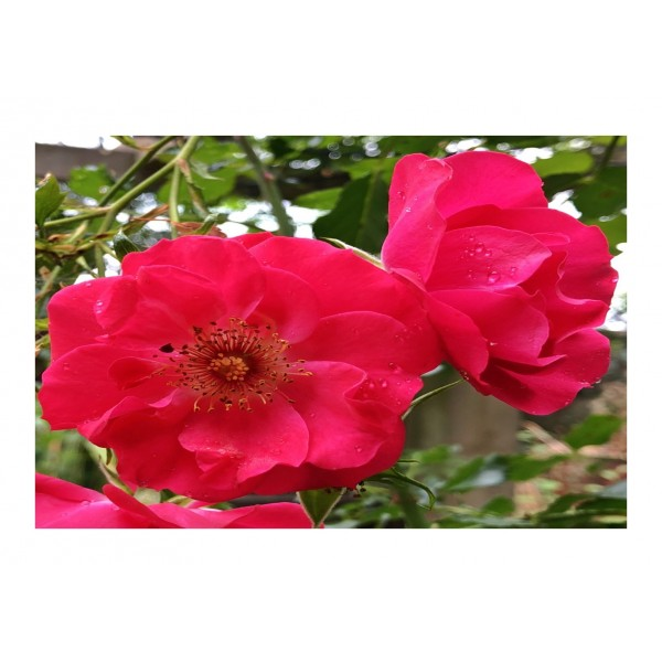 Royalty Climber Rose - Olympic Flame (rich red)