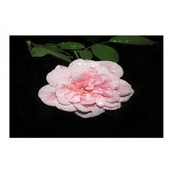 Patio Rose - Pretty Polly (Shell pink)