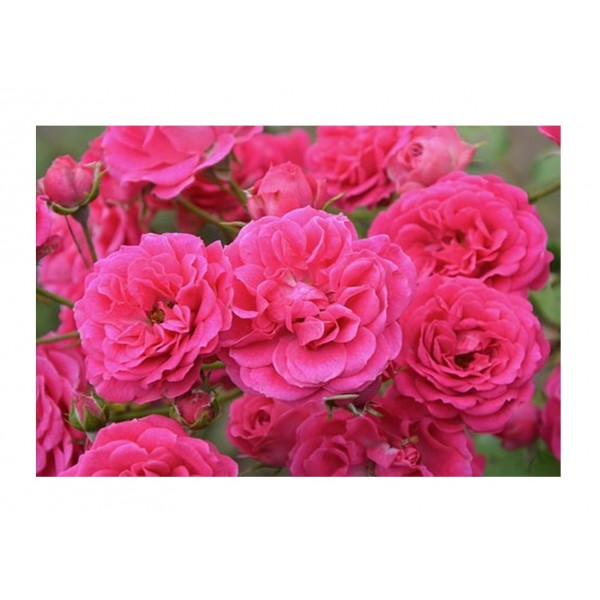 Patio Rose - Raspberry Royale (Pink)
