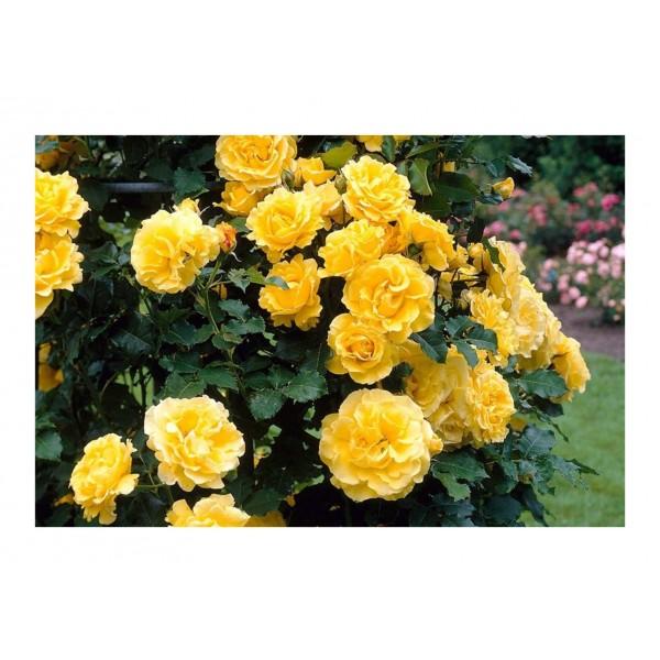 Royalty Climber - Sommergold (lemon yellow)