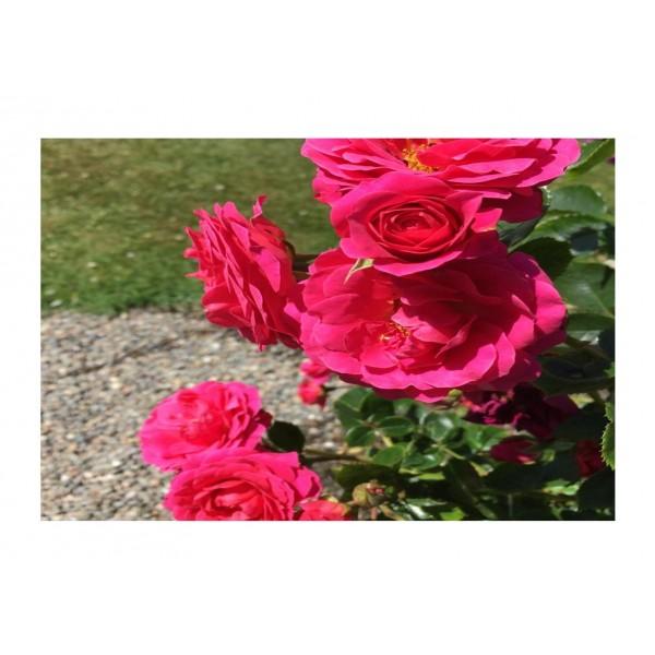 Rose Climber - Starlight Express (dark pink)