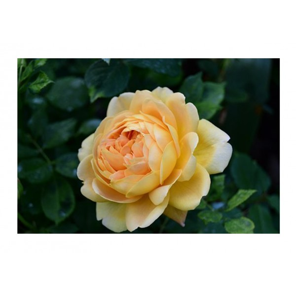 Patio Rose - Sweet Memories (Lemon Yellow)