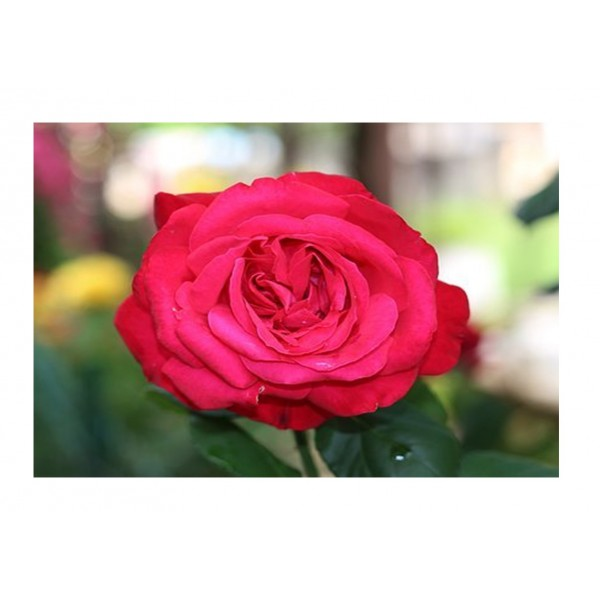 Rose - Premium Bush Timeless Charisma (Rich Red)