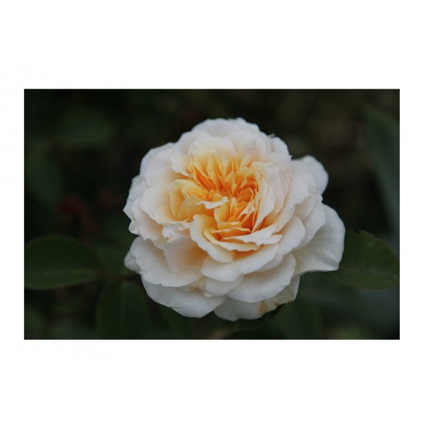 Rose - Premium Bush Cream (cream to light salmon)