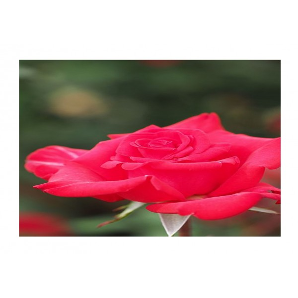 Rose - Premium Bush Timeless Pink (light pink to apricot)