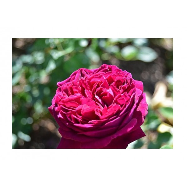 Rose - Premium Bush Timeless Purple (purple to pink)
