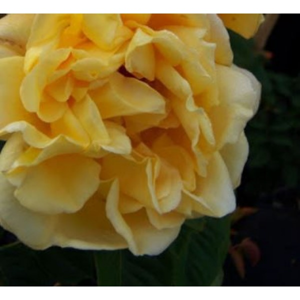 Rose - Climber - Dreaming spires
