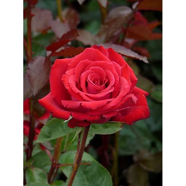 Rose - Bush Hybrid Tea - Ruby Wedding