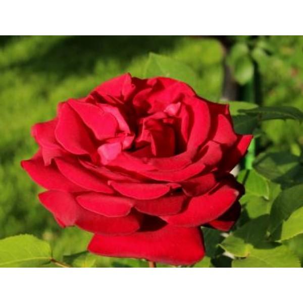 Rose - Bush Hybrid Tea - Royal William