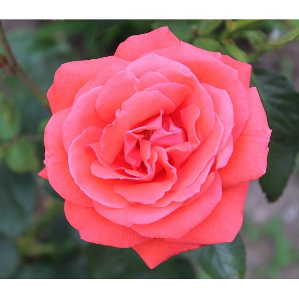 Rose - Bush Hybrid Tea - Superstar Vermillion