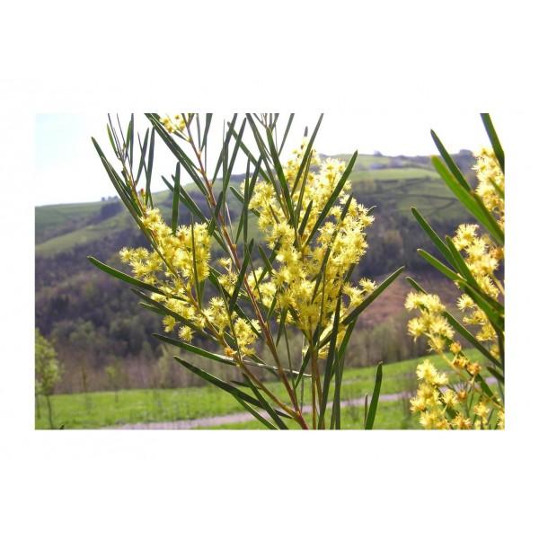 Acacia Boormanii - x1