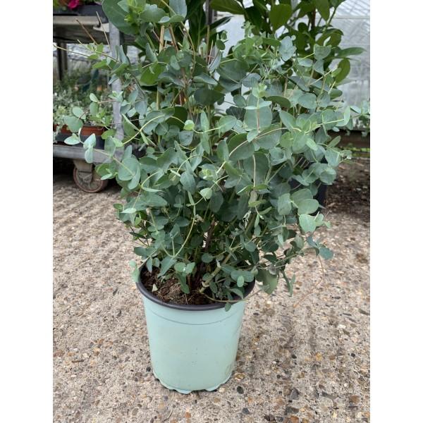 Eucalyptus Gunnii shrub - x1
