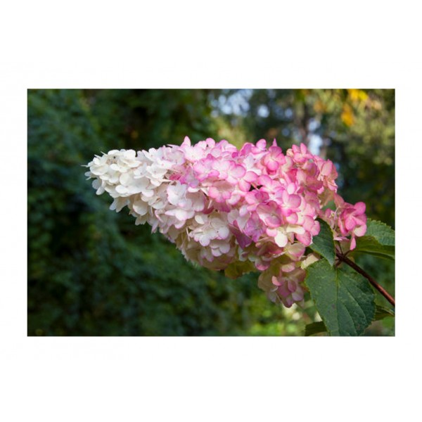 Hydrangea Paniculata Sundae Fraise - x1