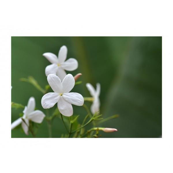 Jasmine - Climber - Inverleith - x1