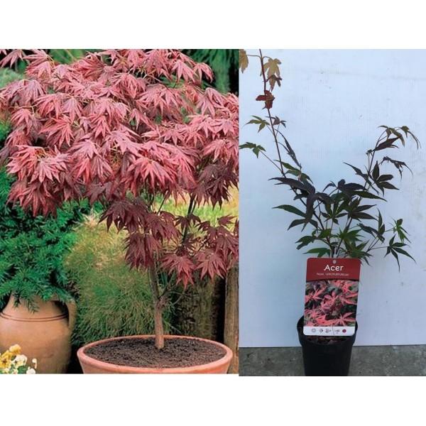 Acer - Palmatum - Atropurpureum  x1