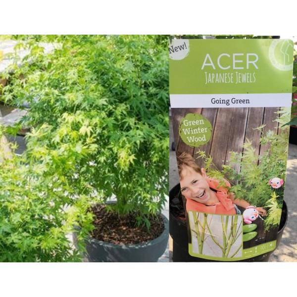 Acer - Palmatum - Going Green  - x1