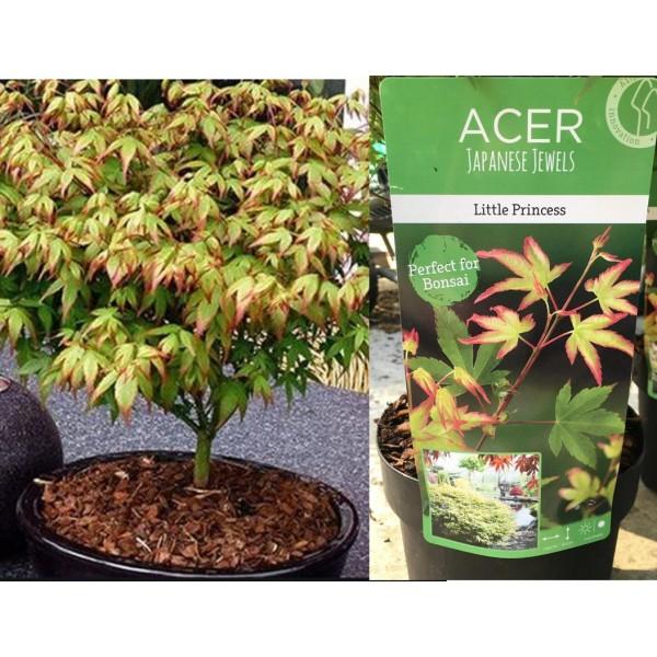 Acer - Palmatum - Little Princess - (C3075) - x1
