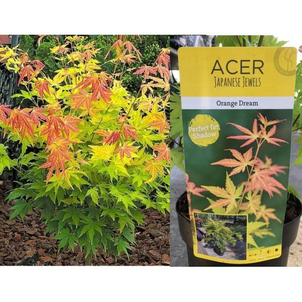 Acer - Palmatum - Orange Dream - (C3075) - x1
