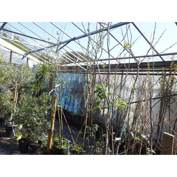 Cytissus Broom Tree