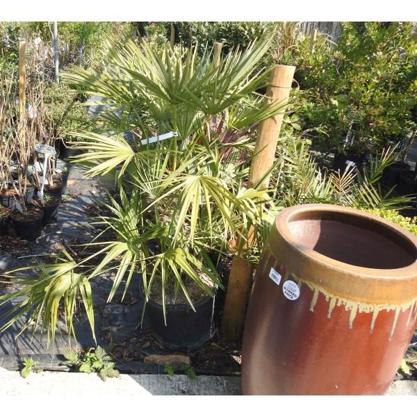 Chamaerops Humilis Palm 35-45 cm Trunk