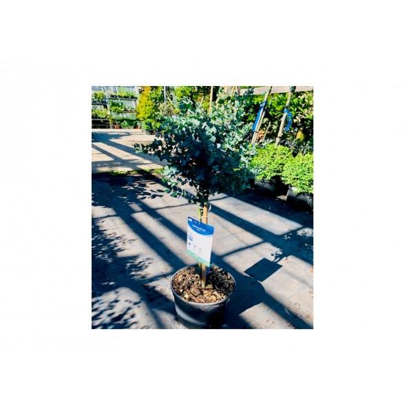 Eucalyptus Gunnii on Stem - x1