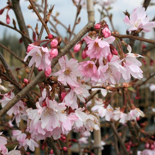 Cherry - Prunus - Flowering ornamental - Autumnalis rosea - x1