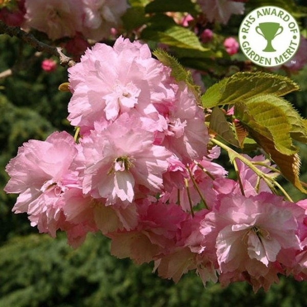 Cherry - Prunus - Flowering ornamental - Pink Perfection - x1