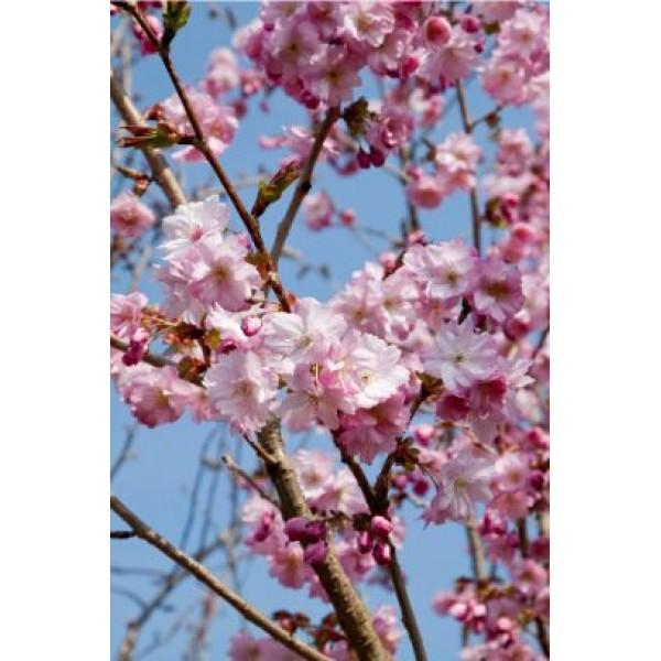 Cherry - Prunus - Flowering ornamental - Beni Yutaka - x1