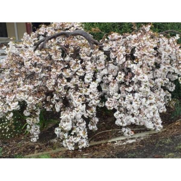 Cherry - Prunus - Flowering ornamental - Hillings Weeping - x1