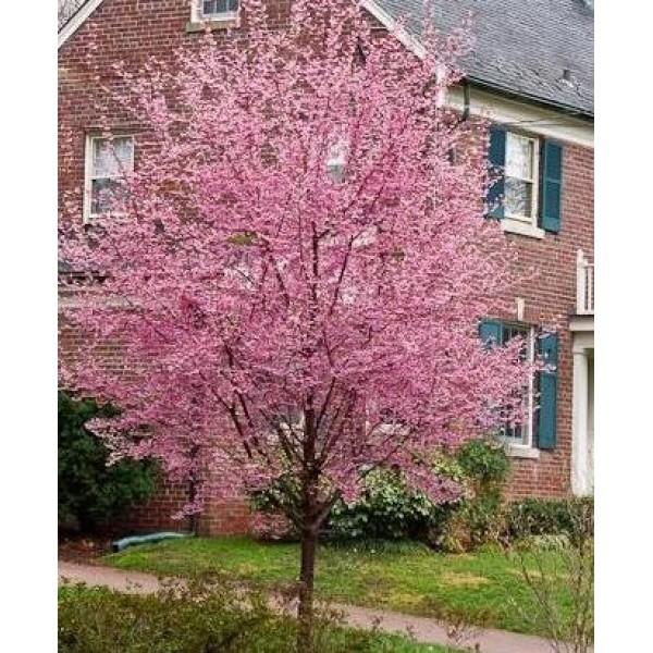 Cherry - Prunus - Flowering ornamental - Okame - x1