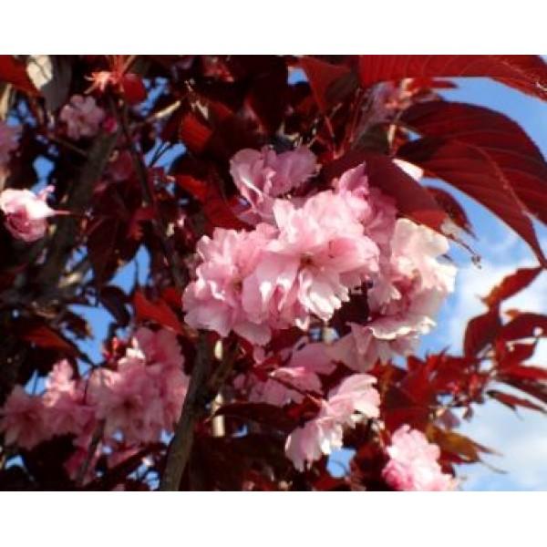 Cherry - Prunus - Flowering ornamental - Royal Burgundy - x1