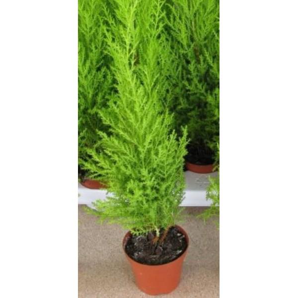 Conifer - Cuppressus - Goldcrest - (small pot) - x3