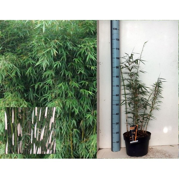 Bamboo plant - Fargesia Robusta Campbell - x1