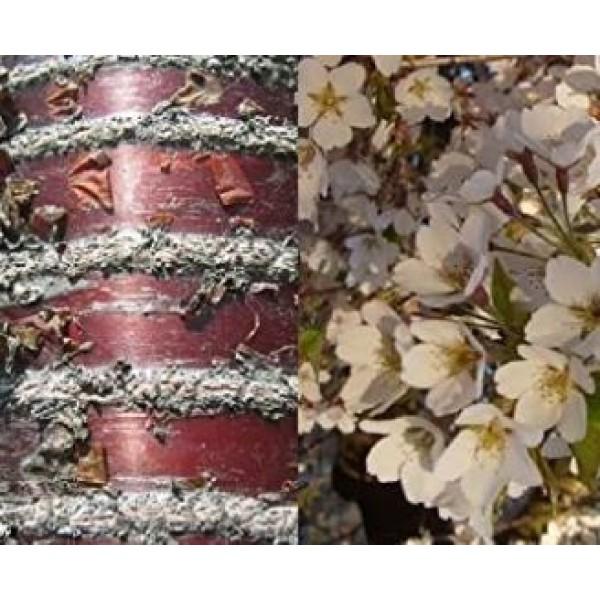 Cherry - Prunus - Flowering ornamental - Schmittii - x1