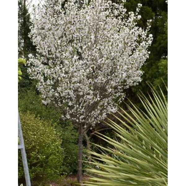 Cherry - Prunus - Flowering ornamental - Snowgoose - x1