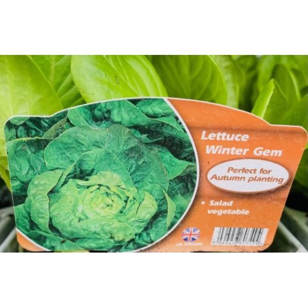 Lettuce - Winter Gem